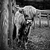 Highland Cow - Scotland. A young highland cow in pasture - Scotland Royalty Free Stock Images