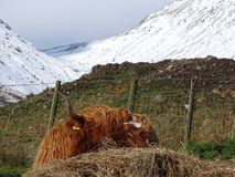 Highland Cow. Scottish highland Cow stock photo