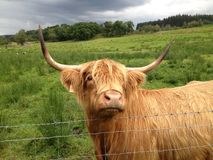 Highland Cow. In Scottish highlands, locals call it hairy coo Royalty Free Stock Photography