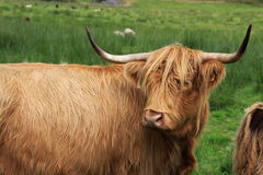 Highland Cow. In Scottish highlands, locals call it hairy coo Stock Photography