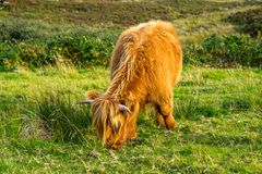 Highland cow. Scottish highland cow on the Isle of Skye Stock Photo