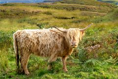 Highland cow. Scottish highland cow on the Isle of Skye Stock Images