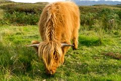 Highland cow. Scottish highland cow on the Isle of Skye Royalty Free Stock Photography