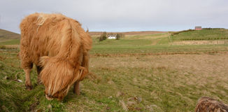 Highland cow in a scottland country Royalty Free Stock Images