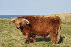 Highland cow by the sea royalty free stock image