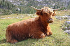A highland cow. Sit in mountain meadows Stock Photo