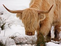 Highland cow in the snow Stock Photo