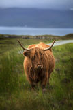 Highland cow. Standing in a field with a loch in background Royalty Free Stock Images
