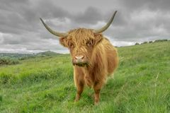 Highland cow. A highland cow standing on Mary tavy common. On the horizon you can just make out brentor church Royalty Free Stock Images