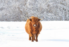 Highland cow standing in a snowy field in winter Stock Image
