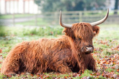 Highland Cow Steaming Breath on Frosty Morning Royalty Free Stock Image