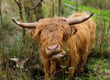 Free Highland Cow Sticking Out Its Tongue Royalty Free Stock Photo - 218736135
