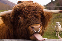 Highland Cow Sticking Tongue out. With a Sheep in the Background Stock Photo