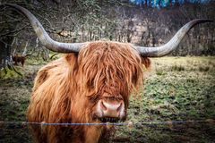 Highland Cow. Stood in a Scottish meadow Stock Photography