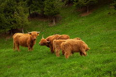 Highland cow in summer meadow Royalty Free Stock Photography