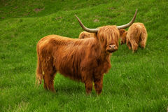 Highland cow in summer meadow Stock Image