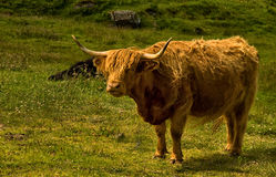 Highland Cow Stock Photos