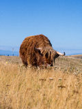 Highland Cow @ Taupo, New Zealand. Highland cow having a morning feed on top of the hill tops of Taupo, New Zealand Royalty Free Stock Photo