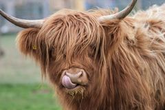 Highland Cow. With tongue up nose, close up royalty free stock photo