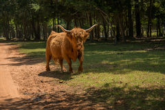 Highland cow walking through a meadow Stock Image