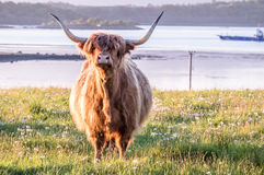 Highland Cow With A Scottish Loch In The Background Royalty Free Stock Photos