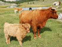 Highland cow and young in mountain meadows Alto Adige Italy Royalty Free Stock Images