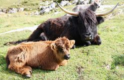 Highland cow and young in mountain meadows Alto Adige Italy Royalty Free Stock Image