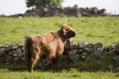 Highland cows Royalty Free Stock Images