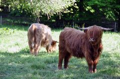 Highland cows 3 Royalty Free Stock Image