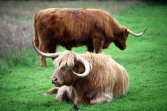 Highland Cows Royalty Free Stock Photography