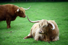 Highland Cows Royalty Free Stock Photo