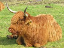 Cows. Highland cows coos Royalty Free Stock Photography