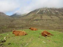 Cows. Highland cows coos Stock Photos