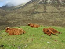 Cows. Highland cows coos Royalty Free Stock Images