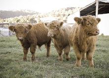 Highland cows on the farm Stock Photography