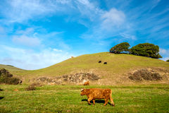 Highland cows on a field, California. USA Royalty Free Stock Photography