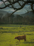 Highland Cows In a Field. In Scotland Royalty Free Stock Images