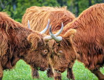 Highland cows fight Stock Photo