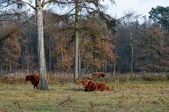 Highland cows grazing at the field Stock Photography