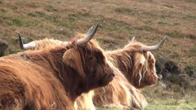 Highland cows on the hillside in Scotland. Two highland cows chewing things over on a hillside in Scotland stock footage