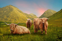 Highland Cows. A painterly styled depiction of Highland Cows of Scotland stock illustration