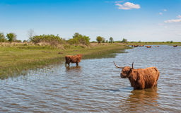 Highland cows wading in a creek. Highland cows in winter coat wading in water on a warm day in spring royalty free stock photography