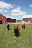 Highland Cows on Wisconsin Dairy Farm. Highland cows on a Wisconsin dairy farm. Barns, blue sky and clouds can be seen in the background royalty free stock photos