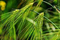 Highland crops, Royalty Free Stock Images
