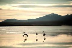 Highland Flamingos Stock Image