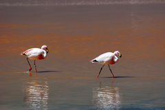 Highland Flamingos in the Red Lagoon Royalty Free Stock Photography
