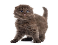 Highland fold kitten looking fearful, isolated Stock Photos