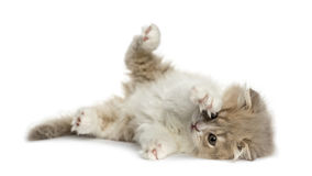 Highland Fold kitten lying on his side isolated on white Royalty Free Stock Photo