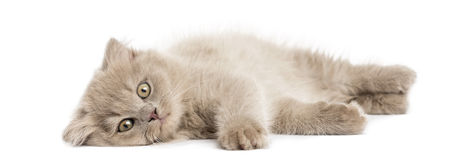 Highland fold kitten lying, looking at the camera, isolated Royalty Free Stock Image