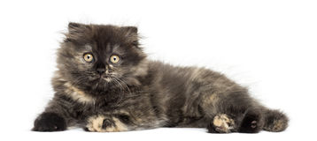 Highland fold kitten lying, looking at the camera, isolated Stock Images